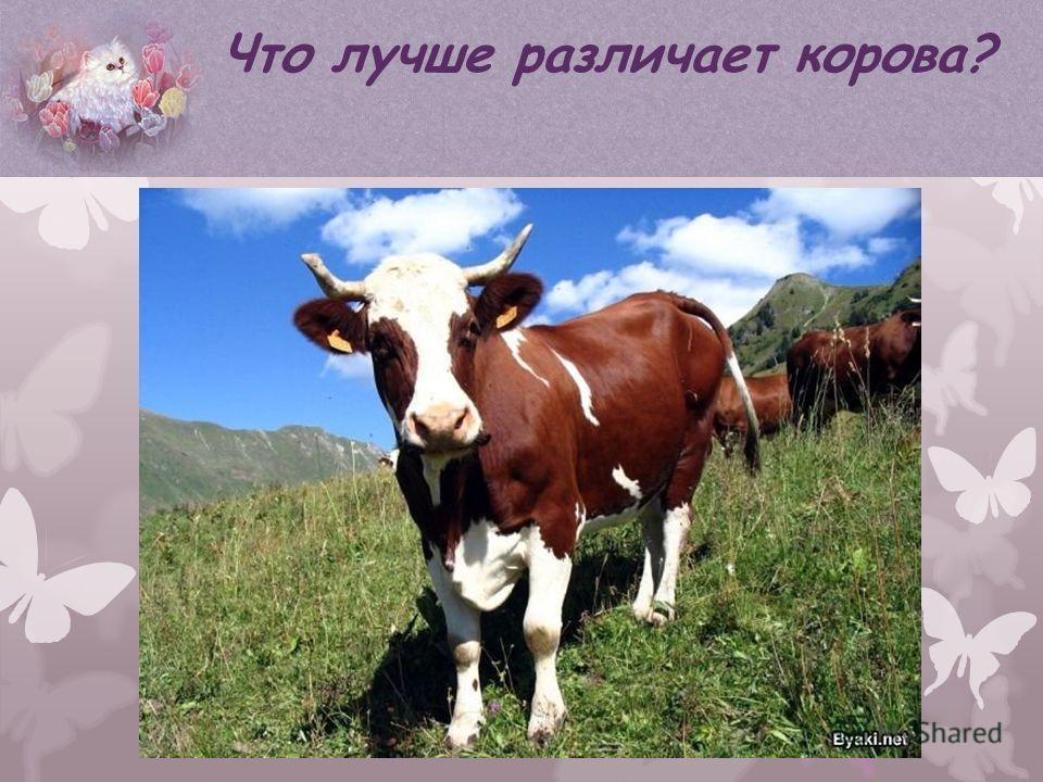 Что лучше различает корова?