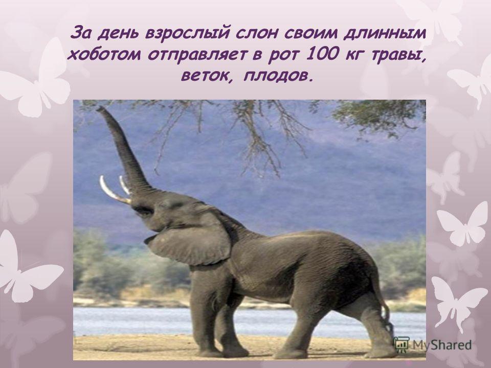За день взрослый слон своим длинным хоботом отправляет в рот 100 кг травы, веток, плодов.