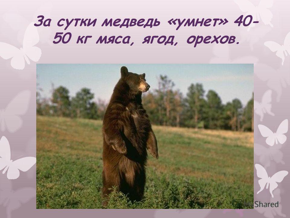 За сутки медведь «умнет» 40- 50 кг мяса, ягод, орехов.