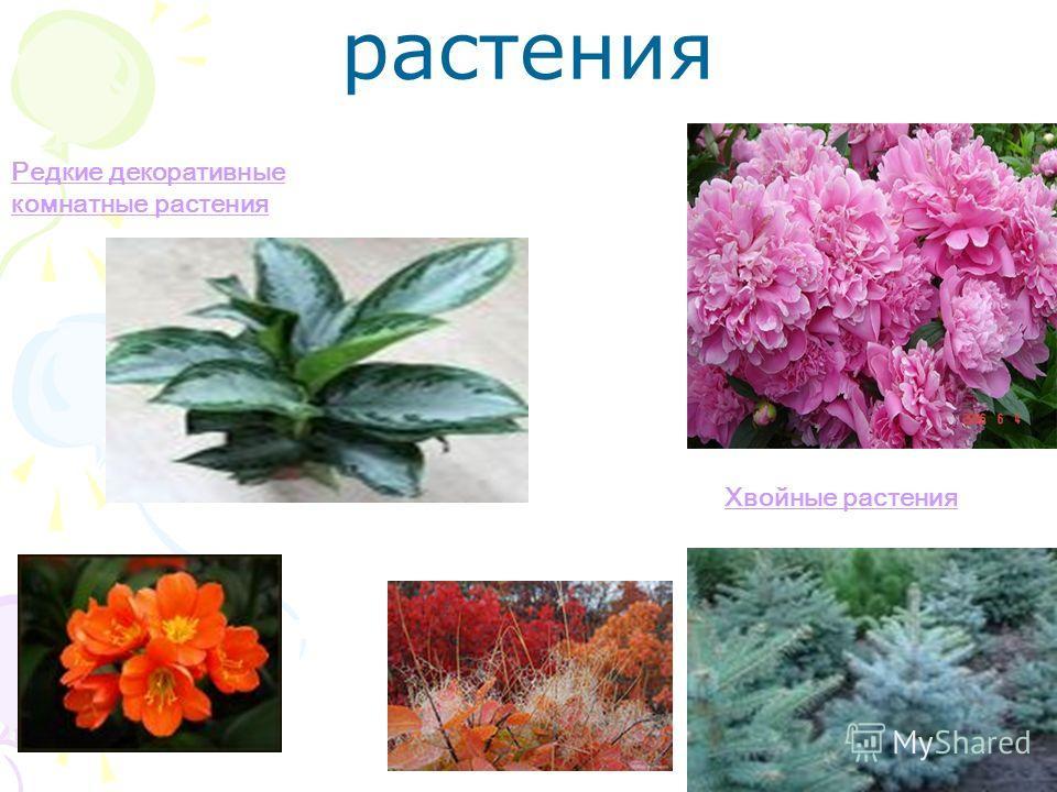 растения Хвойные растения Редкие декоративные комнатные растения
