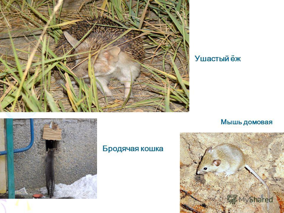 Бродячая кошка Ушастый ёж Мышь домовая Бродячая кошка