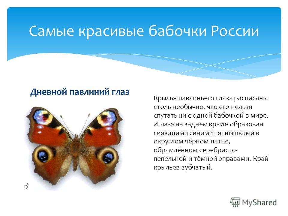 Дневной павлиний глаз Самые красивые бабочки России Крылья павлиньего глаза расписаны столь необычно, что его нельзя спутать ни с одной бабочкой в мире. «Глаз» на заднем крыле образован сияющими синими пятнышками в округлом чёрном пятне, обрамлённом