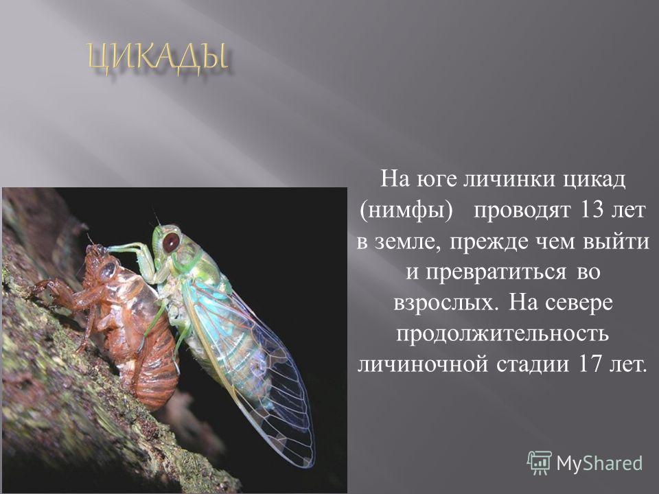 На юге личинки цикад ( нимфы ) проводят 13 лет в земле, прежде чем выйти и превратиться во взрослых. На севере продолжительность личиночной стадии 17 лет.