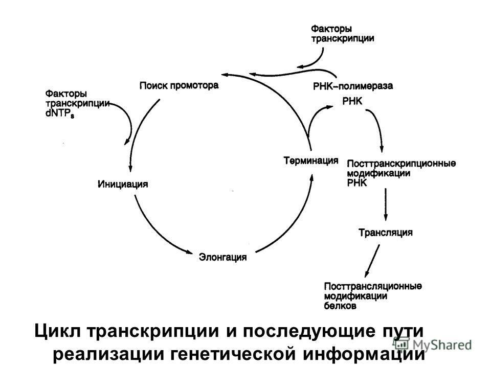 Цикл транскрипции и последующие пути реализации генетической информации