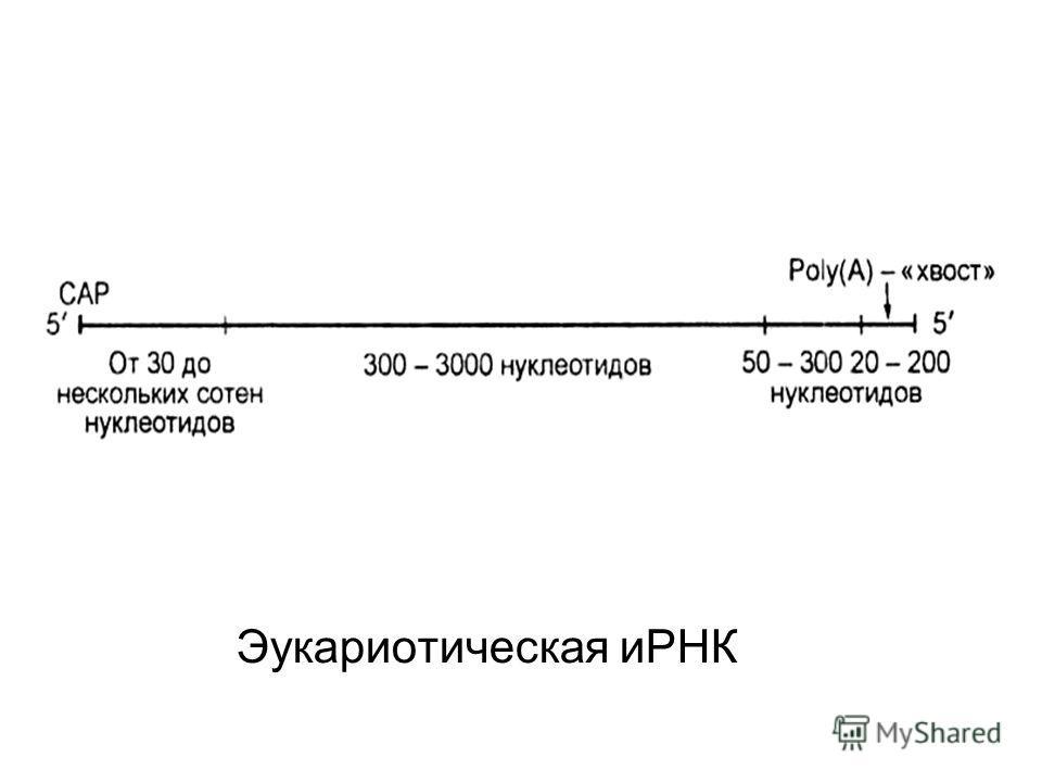 Эукариотическая иРНК