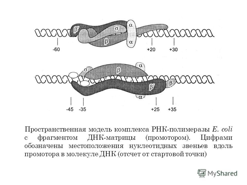 Пространственная модель комплекса РНК-полимеразы Е. coli с фрагментом ДНК-матрицы (промотором). Цифрами обозначены местоположения нуклеотидных звеньев вдоль промотора в молекуле ДНК (отсчет от стартовой точки)