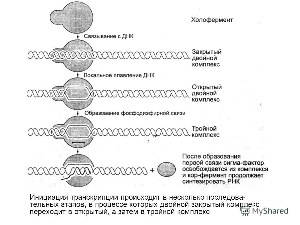 Инициация транскрипции происходит в несколько последова тельных этапов, в процессе которых двойной закрытый комплекс переходит в открытый, а затем в тройной комплекс