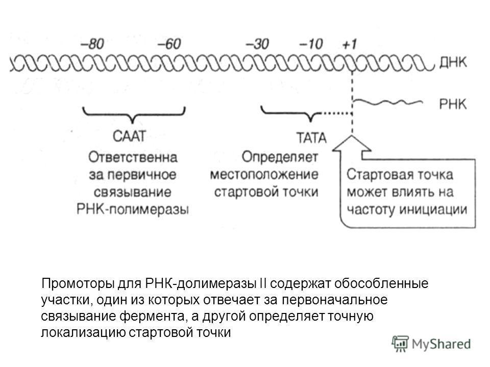 Промоторы для РНК-долимеразы II содержат обособленные участки, один из которых отвечает за первоначальное связывание фермента, а другой определяет точную локализацию стартовой точки