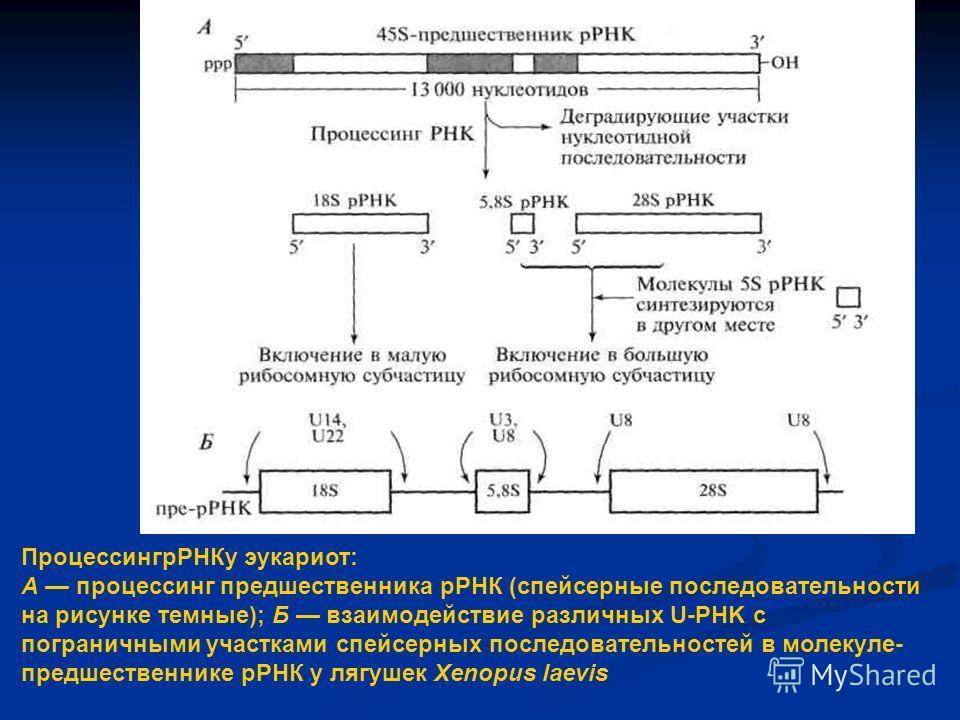 ПроцессингрРНКу эукариот: А процессинг предшественника рРНК (спейсерные последовательности на рисунке темные); Б взаимодействие различных U-PHK с пограничными участками спейсерных последовательностей в молекуле- предшественнике рРНК у лягушек Xenopus
