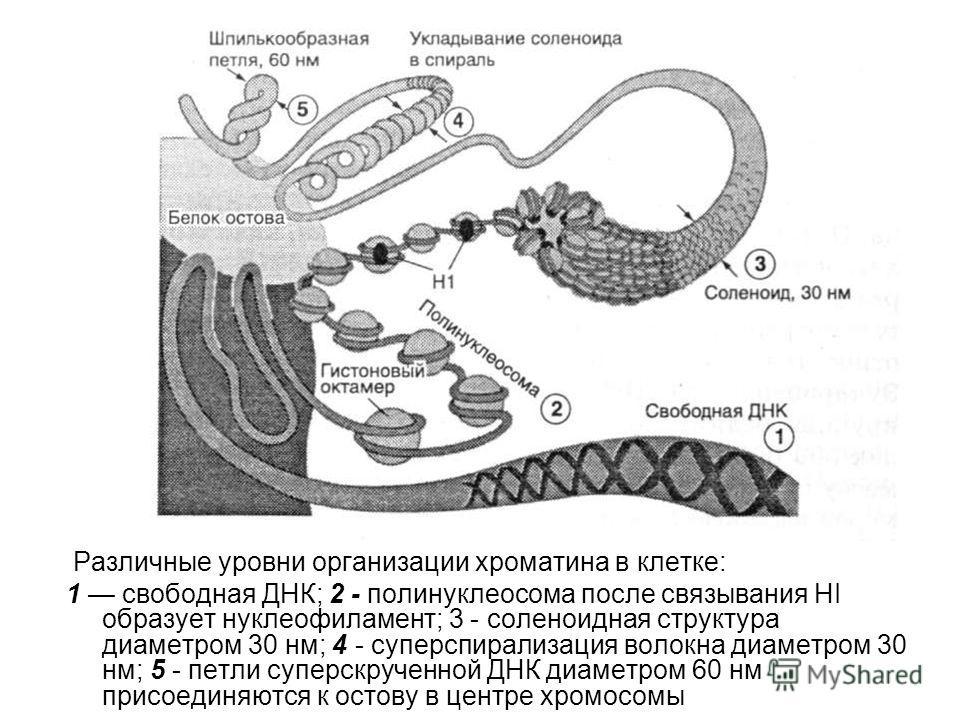 Различные уровни организации хроматина в клетке: 1 свободная ДНК; 2 - полинуклеосома после связывания HI образует нуклеофиламент; 3 - соленоидная структура диаметром 30 нм; 4 - суперспирализация волокна диаметром 30 нм; 5 - петли суперскрученной ДНК