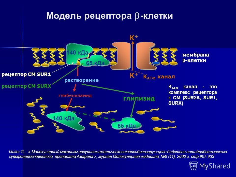 Модель рецептора -клетки рецептор СМ SUR1 мембрана-клетки К АТФ канал К+К+ К+К+ 140 кДа 65 кДа 140 кДа глипизид глибенкламид растворение рецептор СМ SURX K ATФ канал - это комплекс рецептора к СМ (SUR2A, SUR1, SURX) Muller G.: « Молекулярный механизм