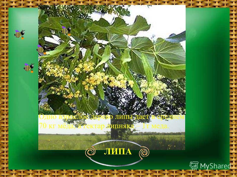 ЛИПА Одно взрослое дерево липы дает в среднем 70 кг мёда, а гектар липняка – 1т меда.