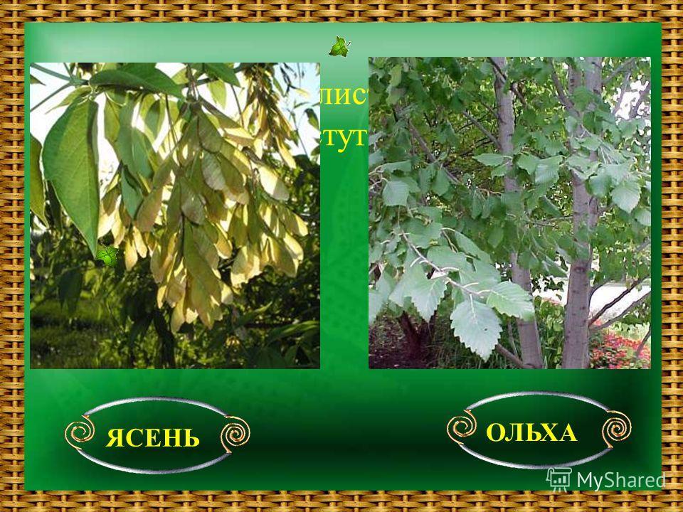 Какие ещё лиственные деревья растут в лесу ? ЯСЕНЬ ОЛЬХА
