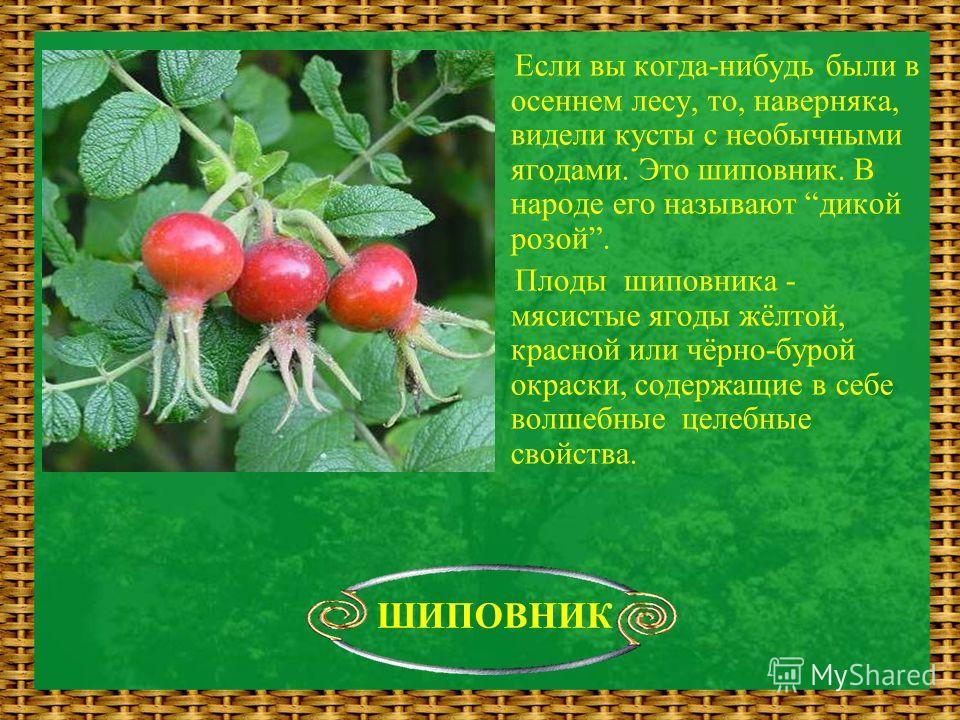 Если вы когда-нибудь были в осеннем лесу, то, наверняка, видели кусты с необычными ягодами. Это шиповник. В народе его называют дикой розой. Плоды шиповника - мясистые ягоды жёлтой, красной или чёрно-бурой окраски, содержащие в себе волшебные целебны