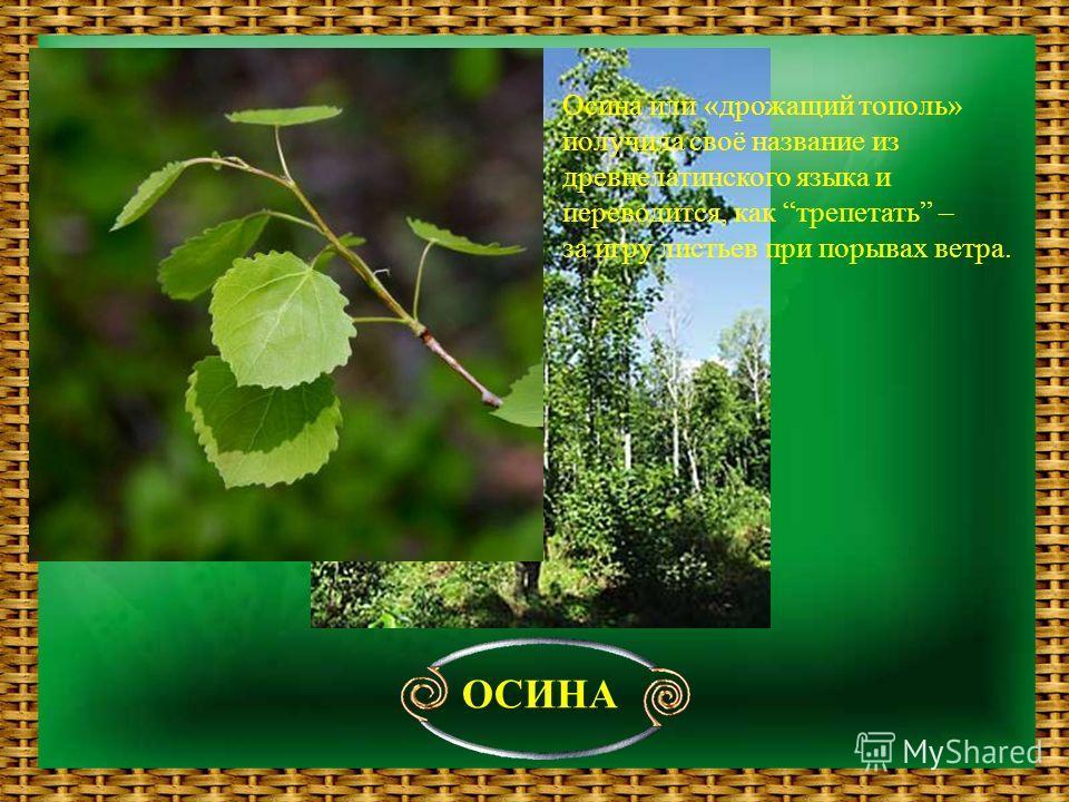 ОСИНА Осина или «дрожащий тополь» получила своё название из древнелатинского языка и переводится, как трепетать – за игру листьев при порывах ветра.