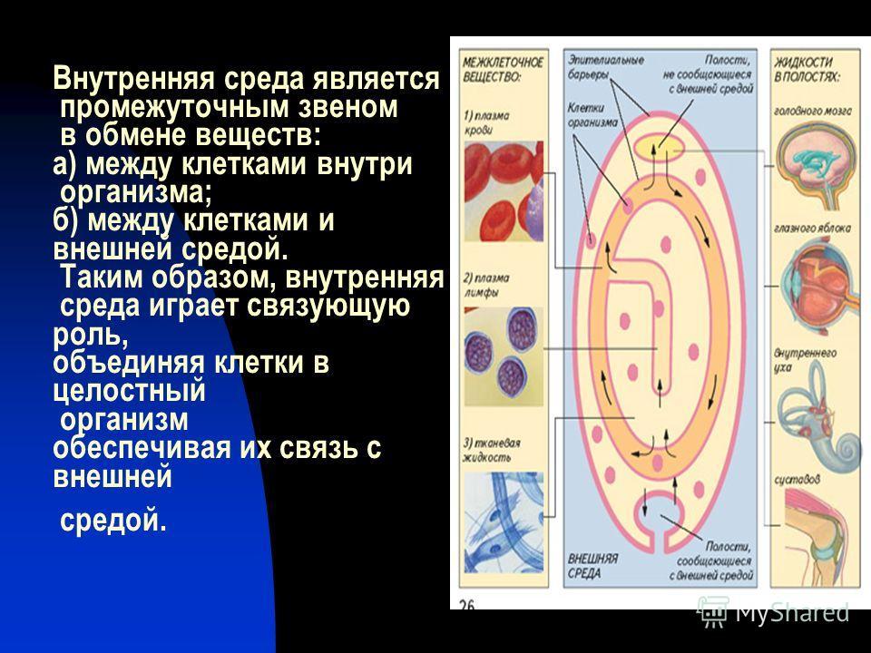 Внутренняя среда является промежуточным звеном в обмене веществ: а) между клетками внутри организма; б) между клетками и внешней средой. Таким образом, внутренняя среда играет связующую роль, объединяя клетки в целостный организм обеспечивая их связь