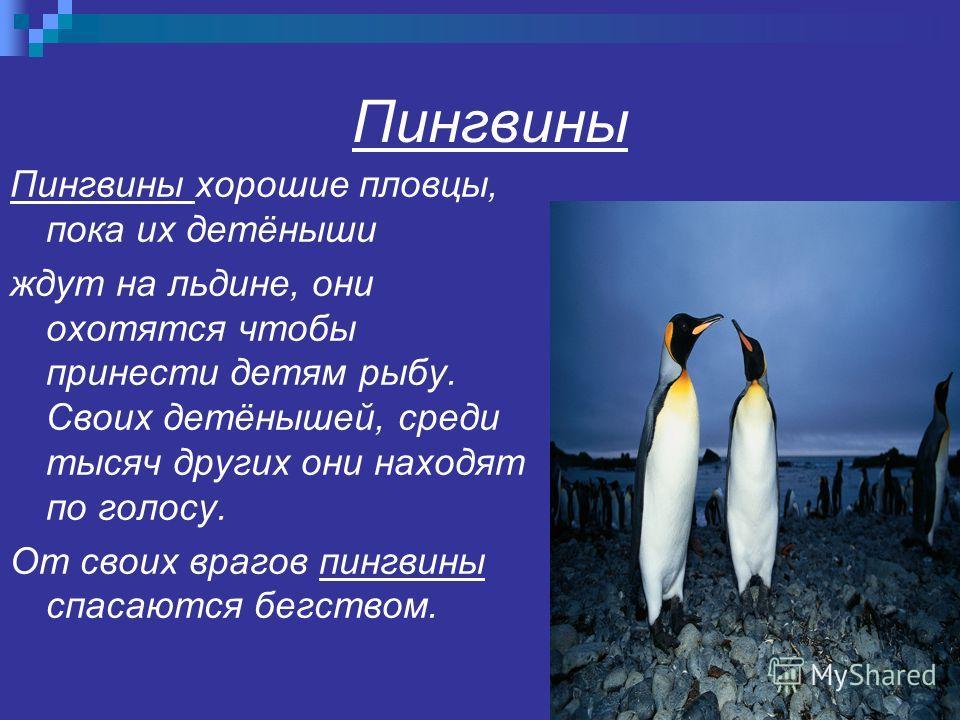 Пингвины Пингвины хорошие пловцы, пока их детёныши ждут на льдине, они охотятся чтобы принести детям рыбу. Своих детёнышей, среди тысяч других они находят по голосу. От своих врагов пингвины спасаются бегством.