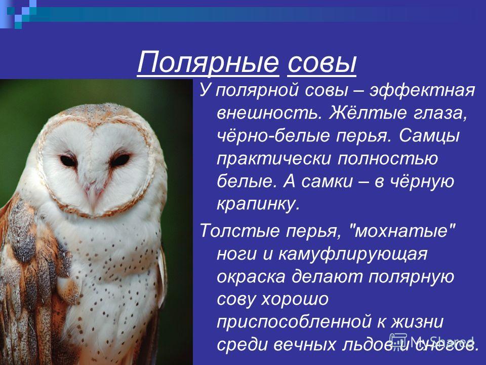 Полярные совы У полярной совы – эффектная внешность. Жёлтые глаза, чёрно-белые перья. Самцы практически полностью белые. А самки – в чёрную крапинку. Толстые перья,