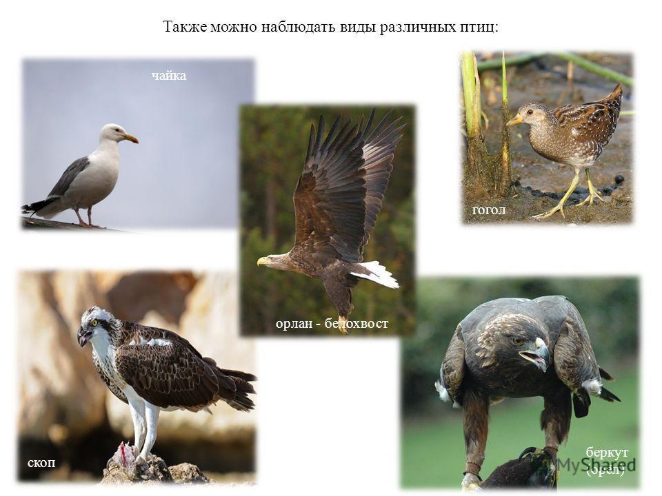 Также можно наблюдать виды различных птиц: чайка беркут (орёл) гогол скоп орлан - белохвост