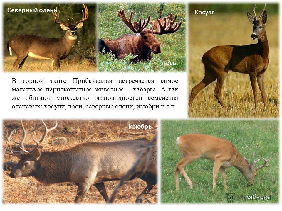 В горной тайге Прибайкалья встречается самое маленькое парнокопытное животное – кабарга. А так же обитают множество разновидностей семейства оленевых: косули, лоси, северные олени, изюбри и т.п. Кабарга Изюбрь Северный олень Лось Косуля