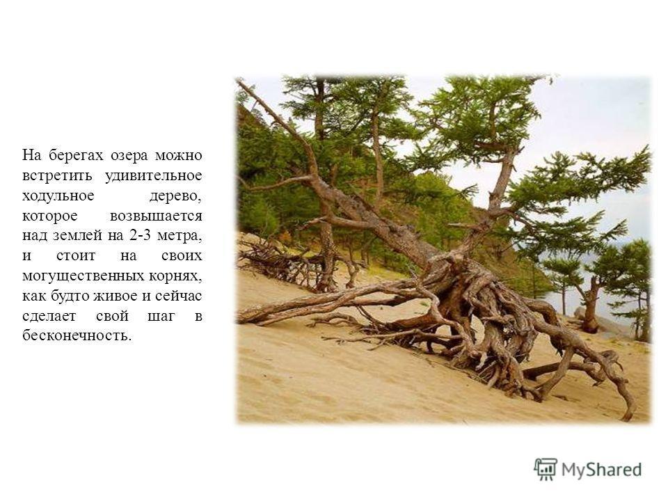 На берегах озера можно встретить удивительное ходульное дерево, которое возвышается над землей на 2-3 метра, и стоит на своих могущественных корнях, как будто живое и сейчас сделает свой шаг в бесконечность.