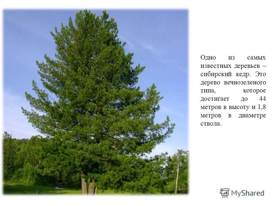 Одно из самых известных деревьев – сибирский кедр. Это дерево вечнозеленого типа, которое достигает до 44 метров в высоту и 1,8 метров в диаметре ствола.