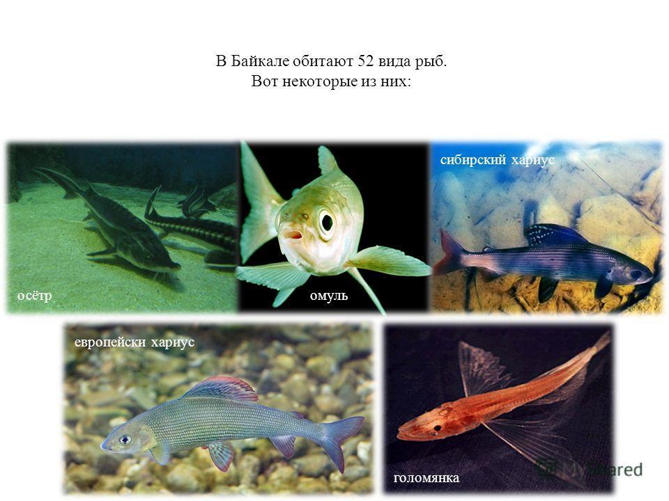 В Байкале обитают 52 вида рыб. Вот некоторые из них: голомянка осётр европейски хариус сибирский хариус омуль