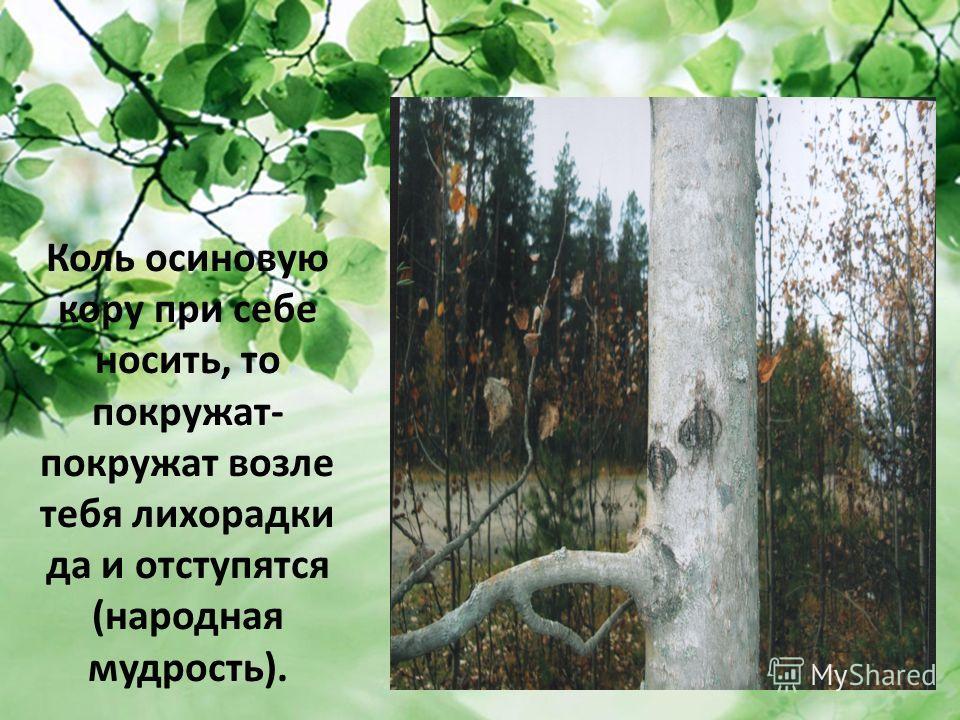 Коль осиновую кору при себе носить, то покружат- покружат возле тебя лихорадки да и отступятся (народная мудрость).