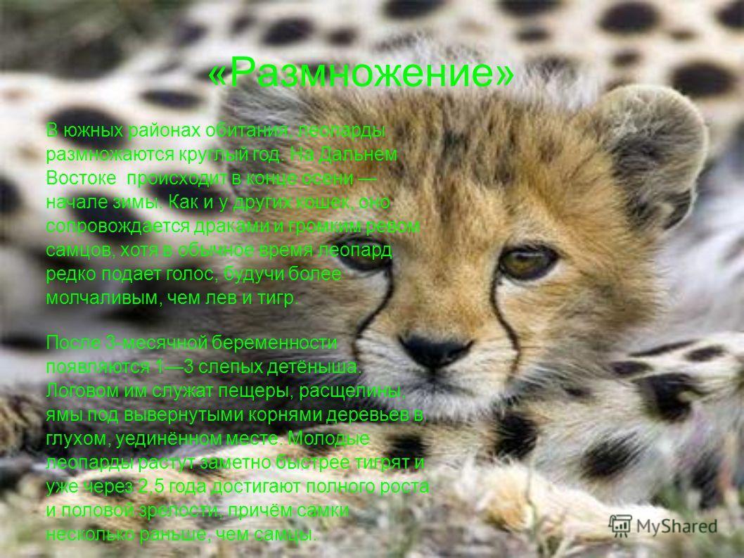 «Размножение» В южных районах обитания, леопарды размножаются круглый год. На Дальнем Востоке происходит в конце осени начале зимы. Как и у других кошек, оно сопровождается драками и громким ревом самцов, хотя в обычное время леопард редко подает гол