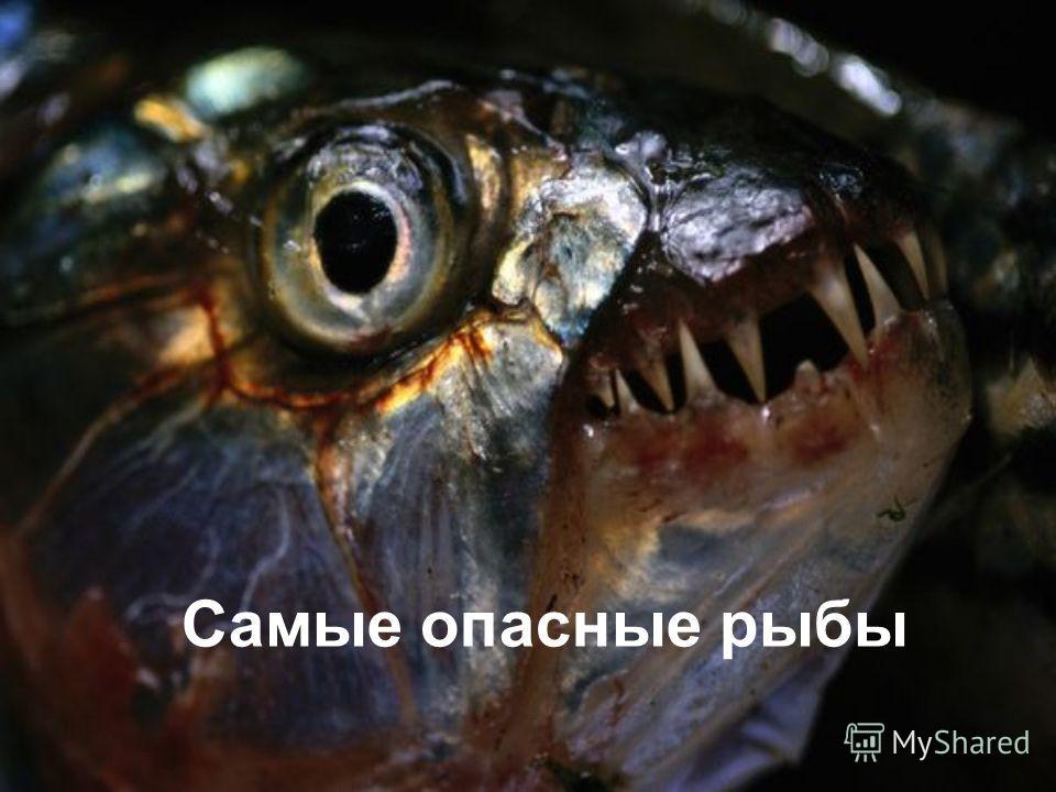 Самые опасные рыбы