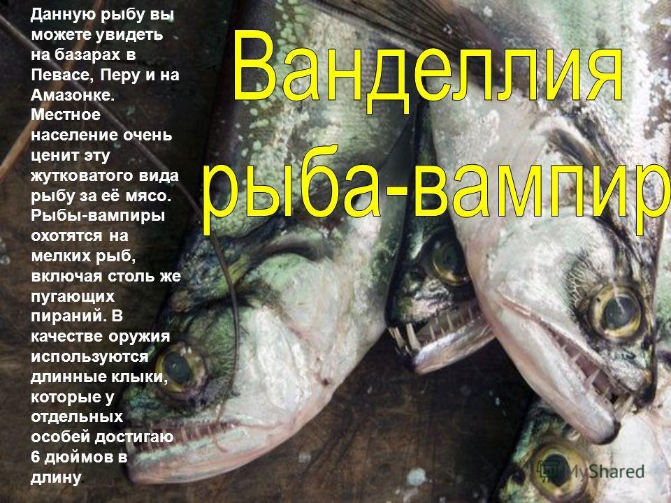 Данную рыбу вы можете увидеть на базарах в Певасе, Перу и на Амазонке. Местное население очень ценит эту жутковатого вида рыбу за её мясо. Рыбы-вампиры охотятся на мелких рыб, включая столь же пугающих пираний. В качестве оружия используются длинные