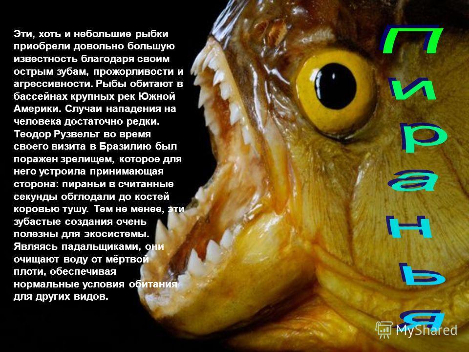 Эти, хоть и небольшие рыбки приобрели довольно большую известность благодаря своим острым зубам, прожорливости и агрессивности. Рыбы обитают в бассейнах крупных рек Южной Америки. Случаи нападения на человека достаточно редки. Теодор Рузвельт во врем