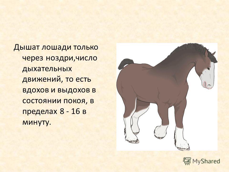Дышат лошади только через ноздри,число дыхательных движений, то есть вдохов и выдохов в состоянии покоя, в пределах 8 - 16 в минуту.
