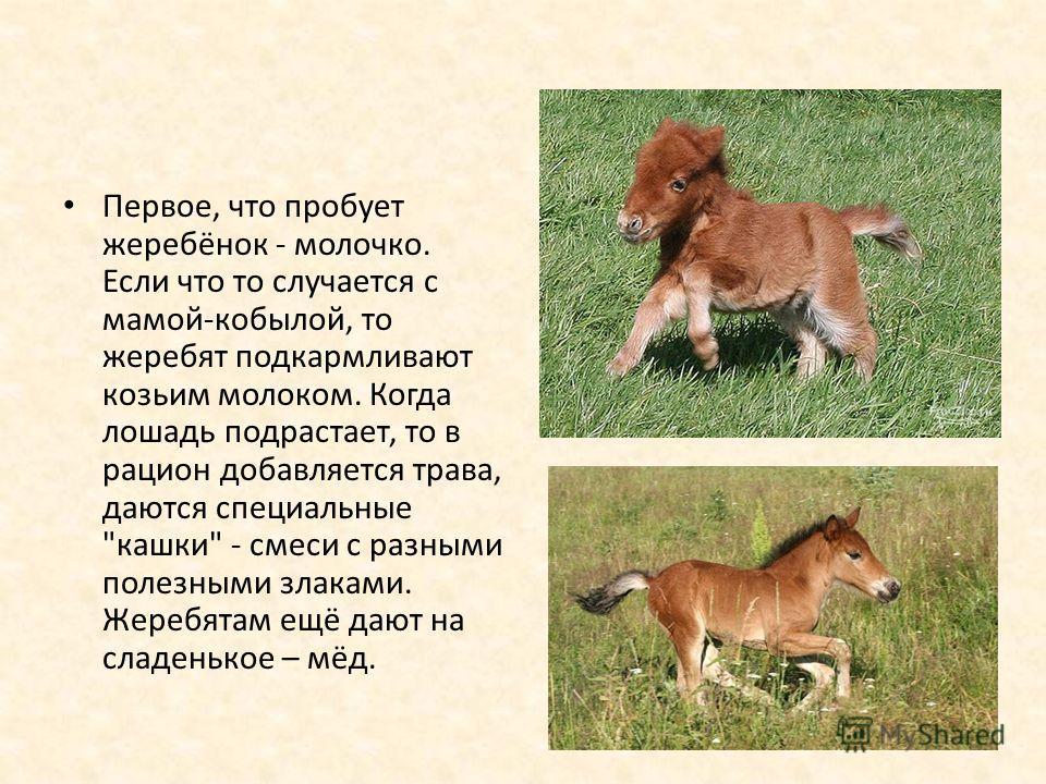 Первое, что пробует жеребёнок - молочко. Если что то случается с мамой-кобылой, то жеребят подкармливают козьим молоком. Когда лошадь подрастает, то в рацион добавляется трава, даются специальные
