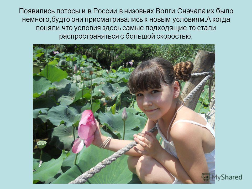 Появились лотосы и в России,в низовьях Волги.Сначала их было немного,будто они присматривались к новым условиям.А когда поняли,что условия здесь самые подходящие,то стали распространяться с большой скоростью.