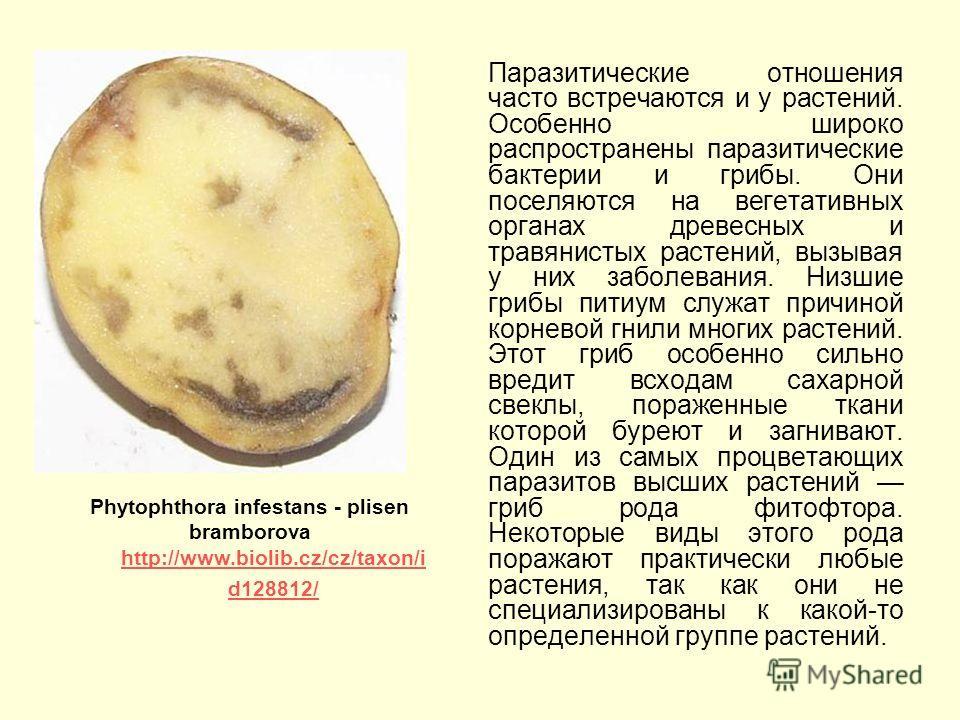 Паразитические отношения часто встречаются и у растений. Особенно широко распространены паразитические бактерии и грибы. Они поселяются на вегетативных органах древесных и травянистых растений, вызывая у них заболевания. Низшие грибы питиум служат пр
