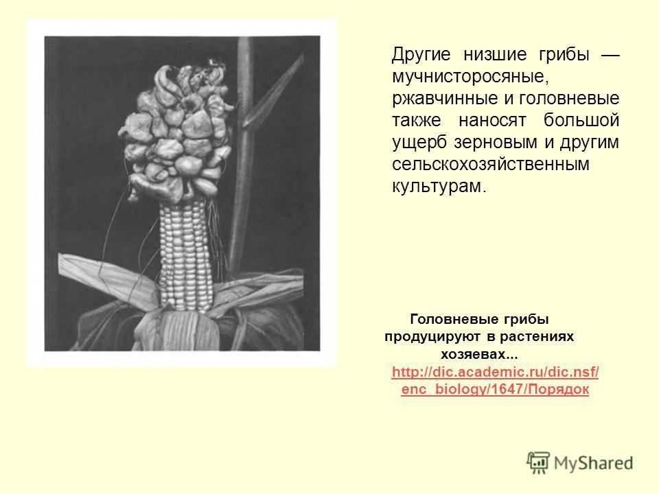 Другие низшие грибы мучнисторосяные, ржавчинные и головневые также наносят большой ущерб зерновым и другим сельскохозяйственным культурам. Головневые грибы продуцируют в растениях хозяевах... http://dic.academic.ru/dic.nsf/ enc_biology/1647/Порядок