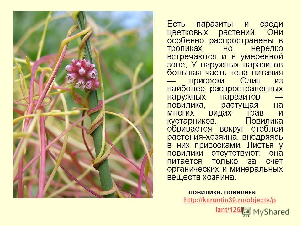 Есть паразиты и среди цветковых растений. Они особенно распространены в тропиках, но нередко встречаются и в умеренной зоне, У наружных паразитов большая часть тела питания присоски. Один из наиболее распространенных наружных паразитов повилика, раст