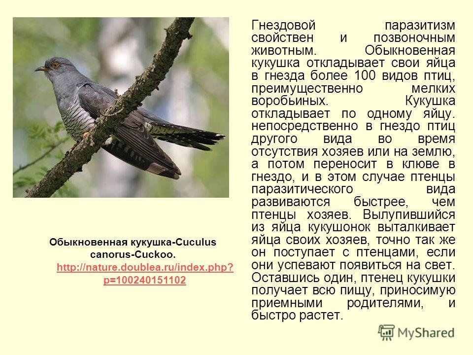 Гнездовой паразитизм свойствен и позвоночным животным. Обыкновенная кукушка откладывает свои яйца в гнезда более 100 видов птиц, преимущественно мелких воробьиных. Кукушка откладывает по одному яйцу. непосредственно в гнездо птиц другого вида во врем