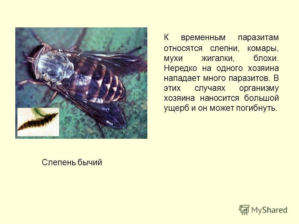 К временным паразитам относятся слепни, комары, мухи жигалки, блохи. Нередко на одного хозяина нападает много паразитов. В этих случаях организму хозяина наносится большой ущерб и он может погибнуть. Слепень бычий