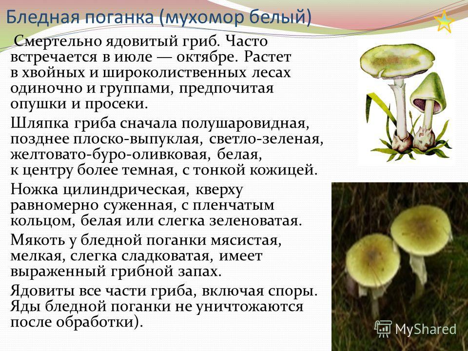 Бледная поганка (мухомор белый) Смертельно ядовитый гриб. Часто встречается в июле октябре. Растет в хвойных и широколиственных лесах одиночно и группами, предпочитая опушки и просеки. Шляпка гриба сначала полушаровидная, позднее плоско-выпуклая, све
