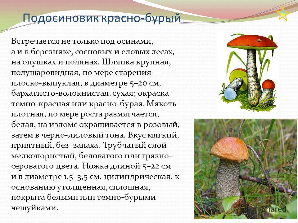 Подосиновик красно-бурый Встречается не только под осинами, а и в березняке, сосновых и еловых лесах, на опушках и полянах. Шляпка крупная, полушаровидная, по мере старения плоско-выпуклая, в диаметре 5–20 см, бархатисто-волокнистая, сухая; окраска т