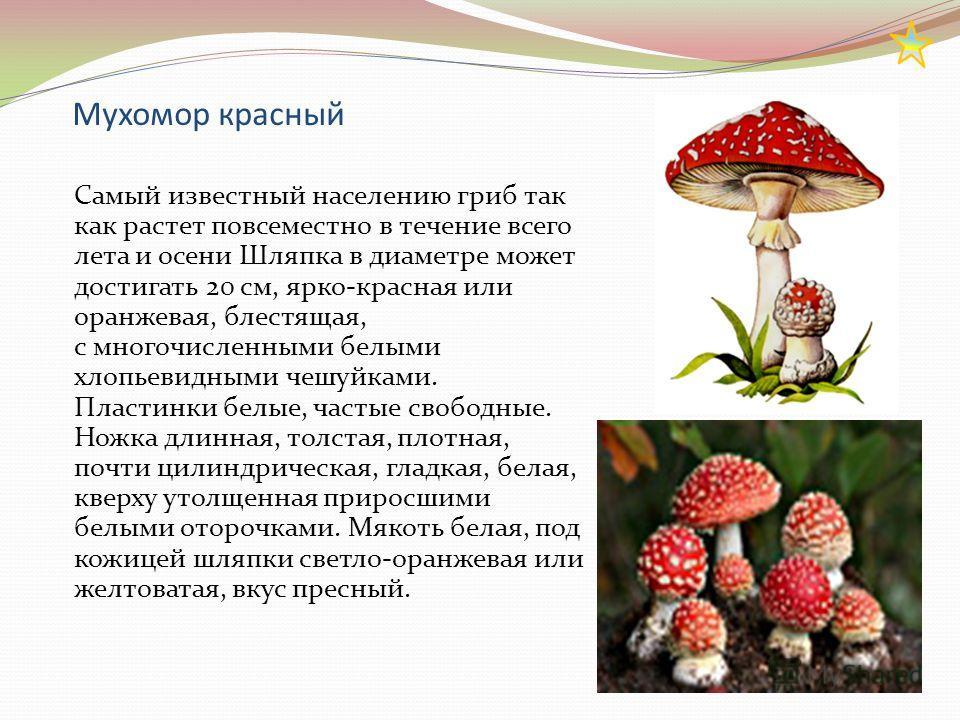 Мухомор красный Самый известный населению гриб так как растет повсеместно в течение всего лета и осени Шляпка в диаметре может достигать 20 см, ярко-красная или оранжевая, блестящая, с многочисленными белыми хлопьевидными чешуйками. Пластинки белые,
