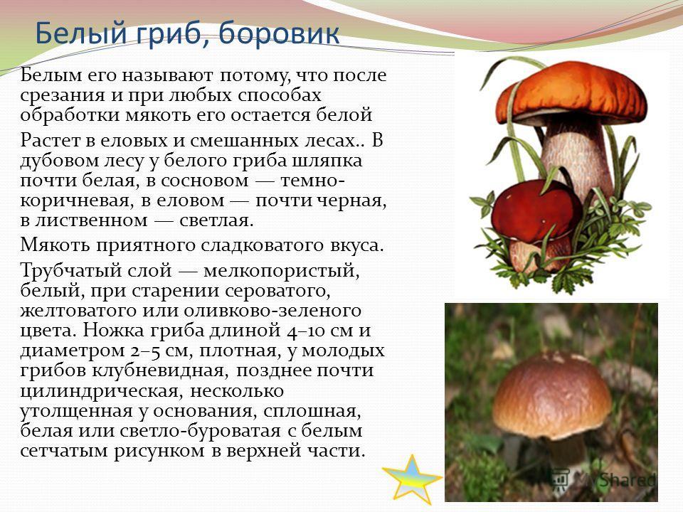 Белый гриб, боровик Белым его называют потому, что после срезания и при любых способах обработки мякоть его остается белой Растет в еловых и смешанных лесах.. В дубовом лесу у белого гриба шляпка почти белая, в сосновом темно- коричневая, в еловом по