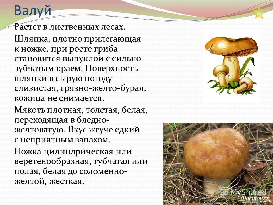 Валуй Растет в лиственных лесах. Шляпка, плотно прилегающая к ножке, при росте гриба становится выпуклой с сильно зубчатым краем. Поверхность шляпки в сырую погоду слизистая, грязно-желто-бурая, кожица не снимается. Мякоть плотная, толстая, белая, пе