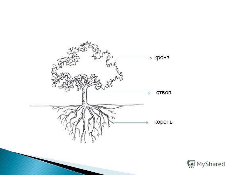 корень ствол крона