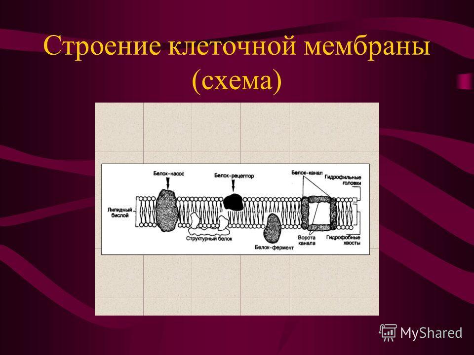 Строение клеточной мембраны (схема)