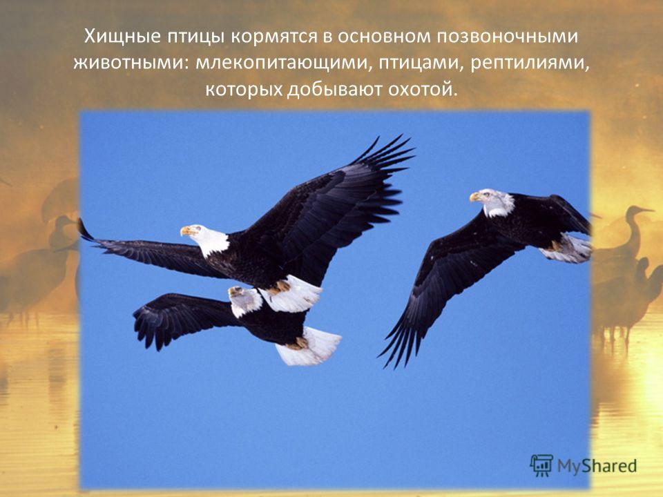 Хищные птицы кормятся в основном позвоночными животными: млекопитающими, птицами, рептилиями, которых добывают охотой.