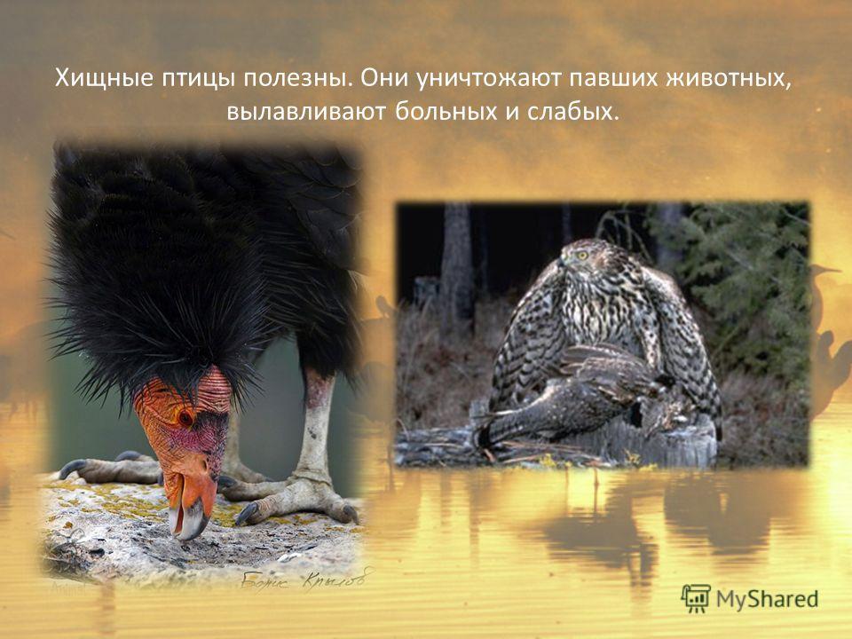 Хищные птицы полезны. Они уничтожают павших животных, вылавливают больных и слабых.