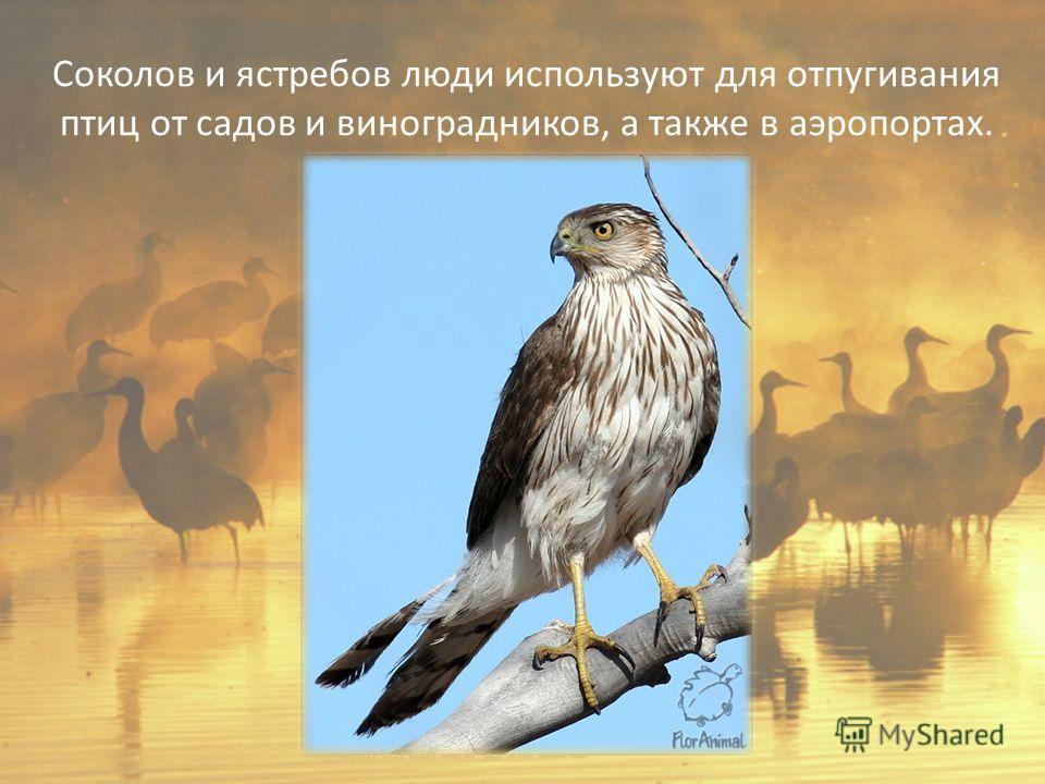 Соколов и ястребов люди используют для отпугивания птиц от садов и виноградников, а также в аэропортах.